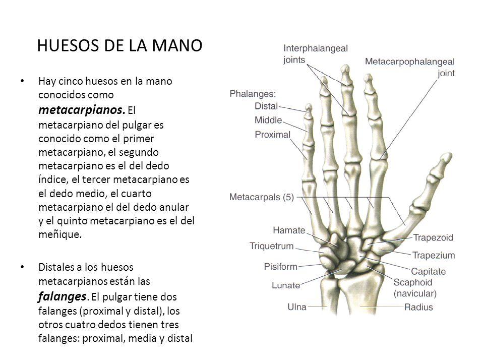 Vistoso Anatomía Dedo Meñique Foto - Anatomía de Las Imágenesdel ...