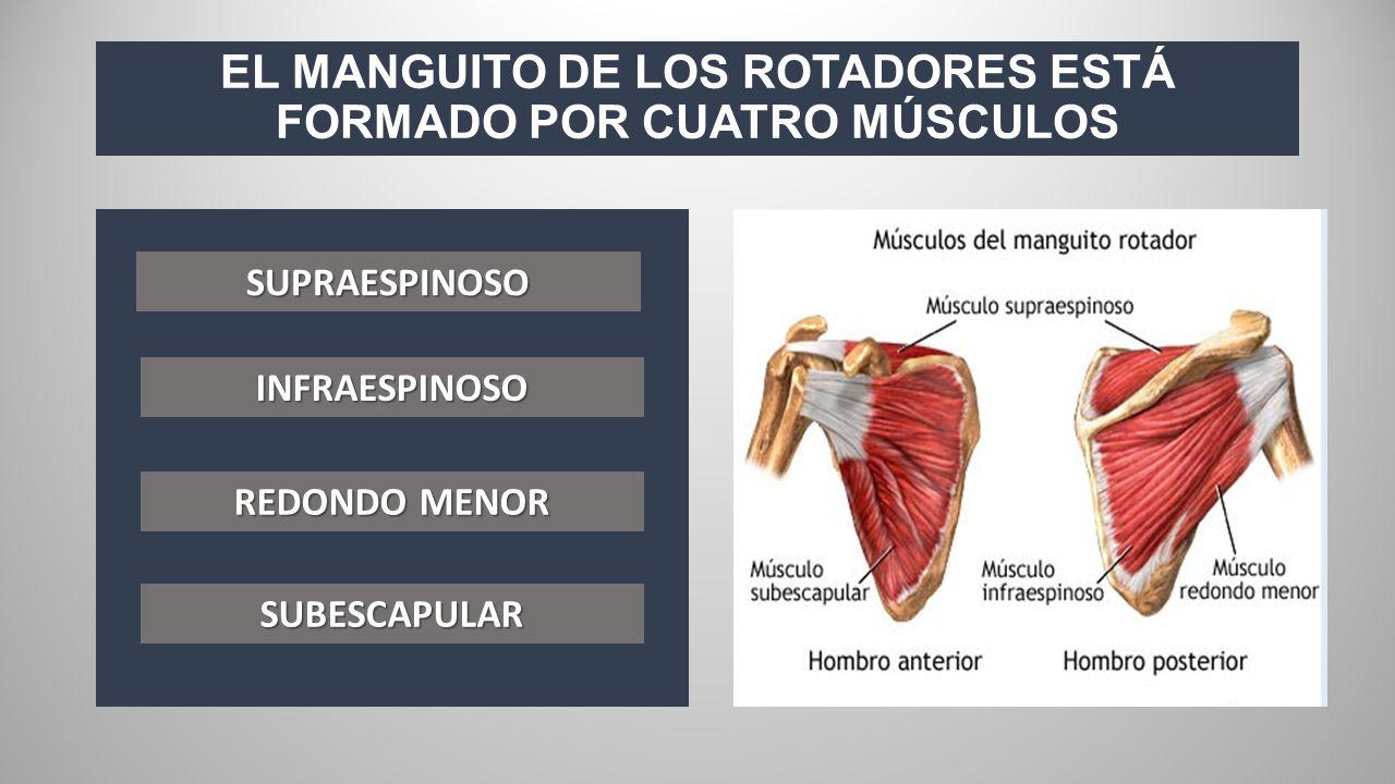 Lujoso Anatomía De Los Músculos Del Manguito Rotador Patrón ...