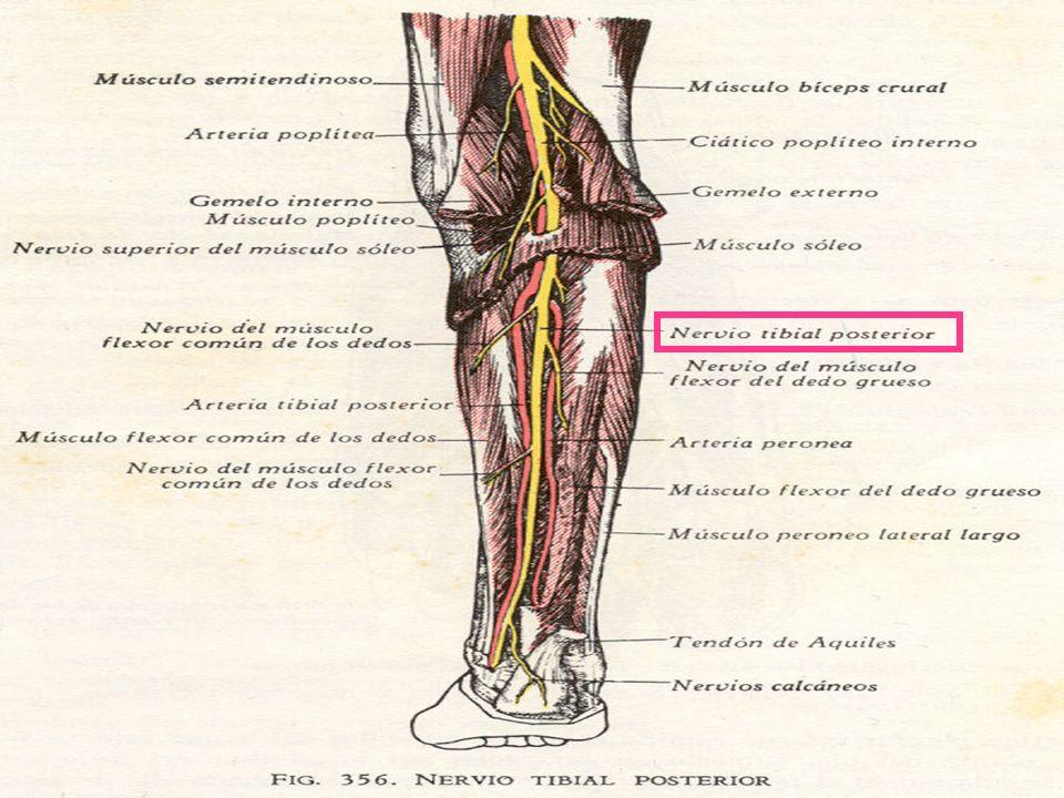 Contemporáneo Anatomía Del Nervio Tibial Posterior Colección ...