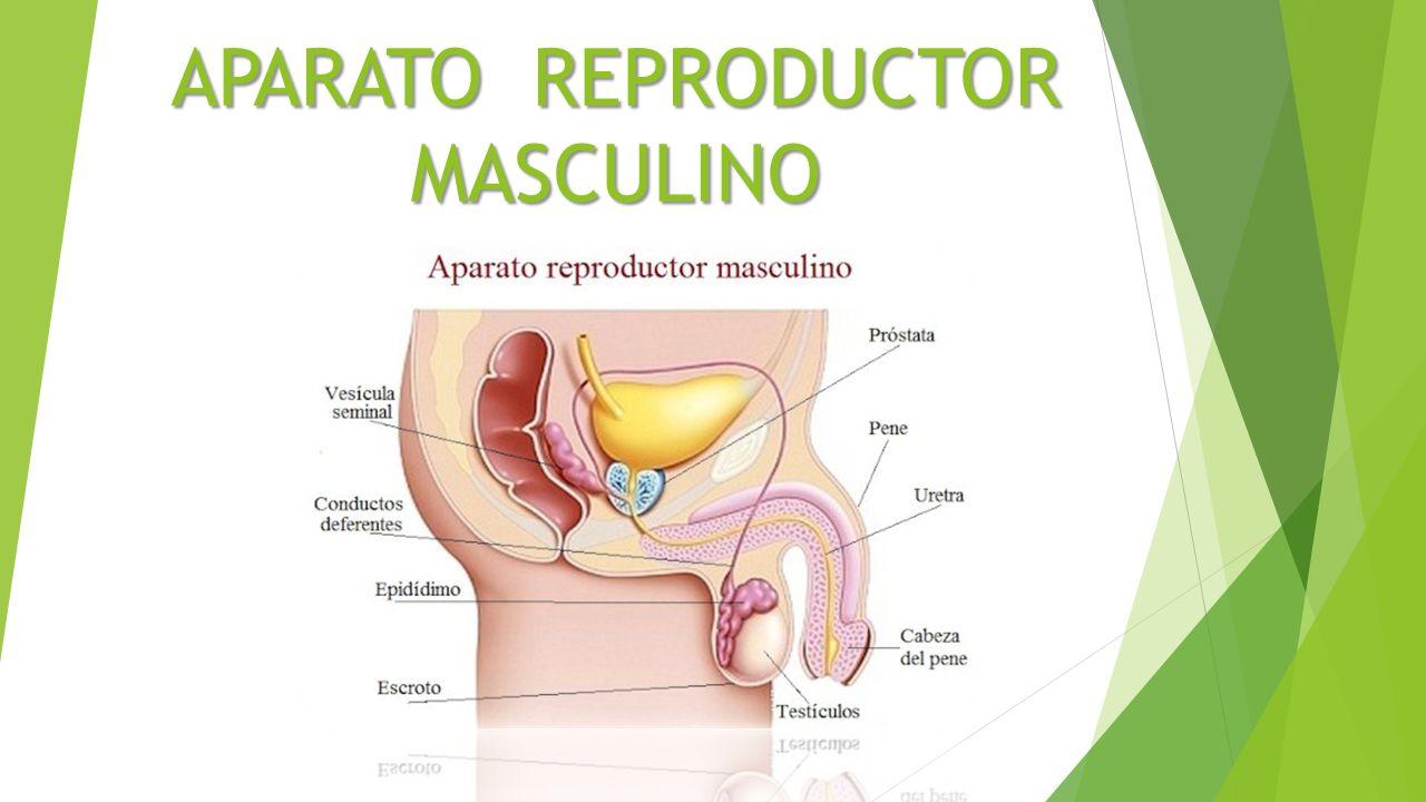 APARATO REPRODUCTOR MASCULINO. Los órganos genitales masculinos ...