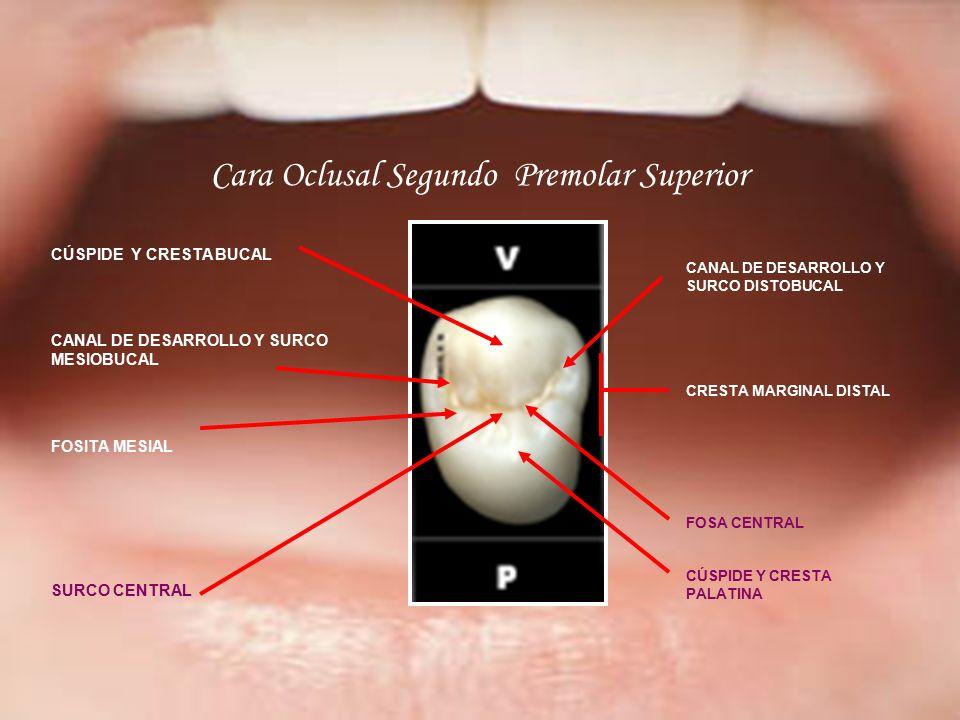 Moderno Maxilar Primer Premolar Anatomía Patrón - Imágenes de ...