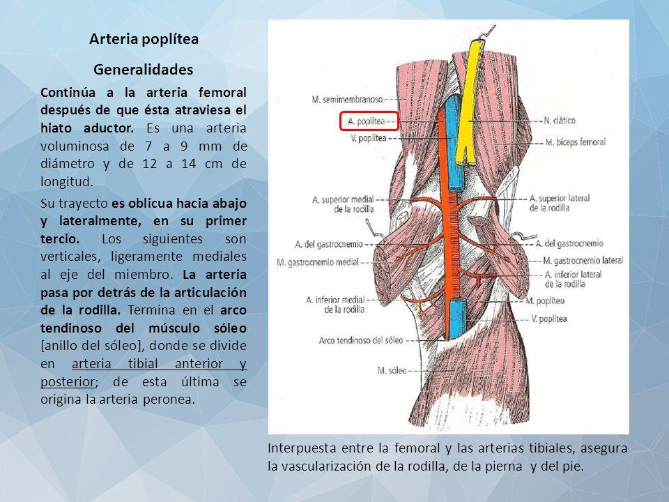 Encantador Anatomía De La Arteria Poplítea Ornamento - Anatomía de ...