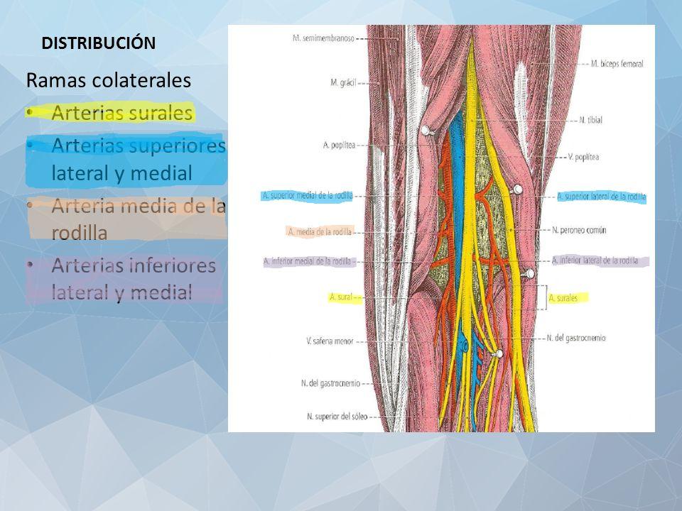 Fantástico Anatomía Arteria Poplítea Viñeta - Anatomía de Las ...