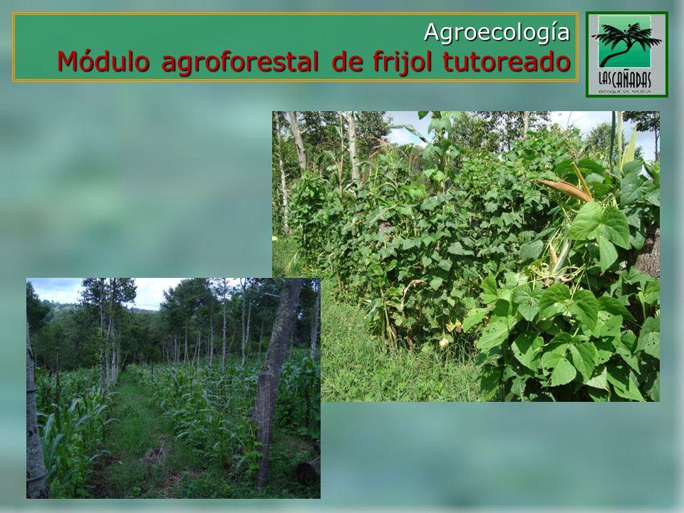 Agroecología Módulo agroforestal de frijol tutoreado