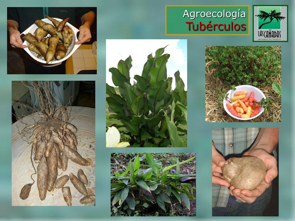 AgroecologíaTubérculos
