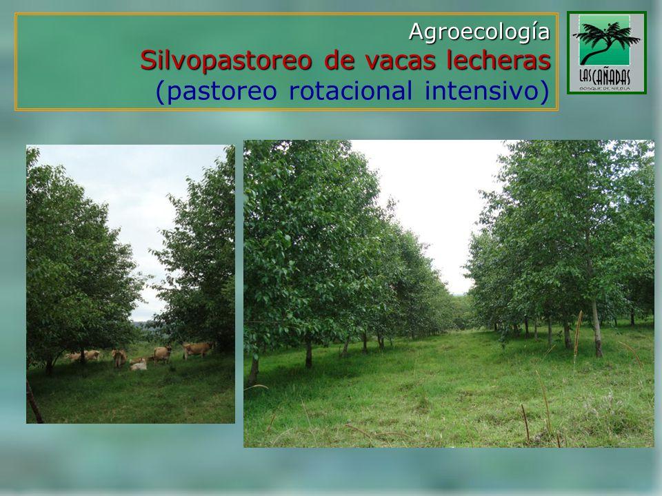 Agroecología Silvopastoreo de vacas lecheras Silvopastoreo de vacas lecheras (pastoreo rotacional intensivo)