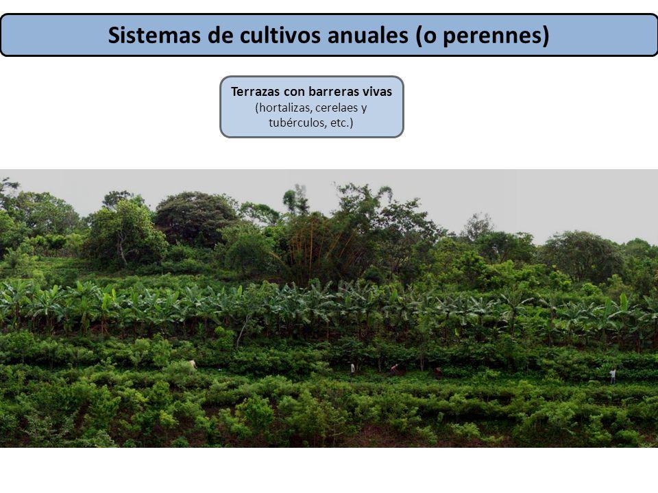 Sistemas de cultivos anuales (o perennes) Terrazas con barreras vivas (hortalizas, cerelaes y tubérculos, etc.)