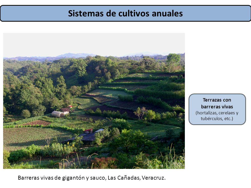 Sistemas de cultivos anuales Terrazas con barreras vivas (hortalizas, cerelaes y tubérculos, etc.) Barreras vivas de gigantón y sauco, Las Cañadas, Ve
