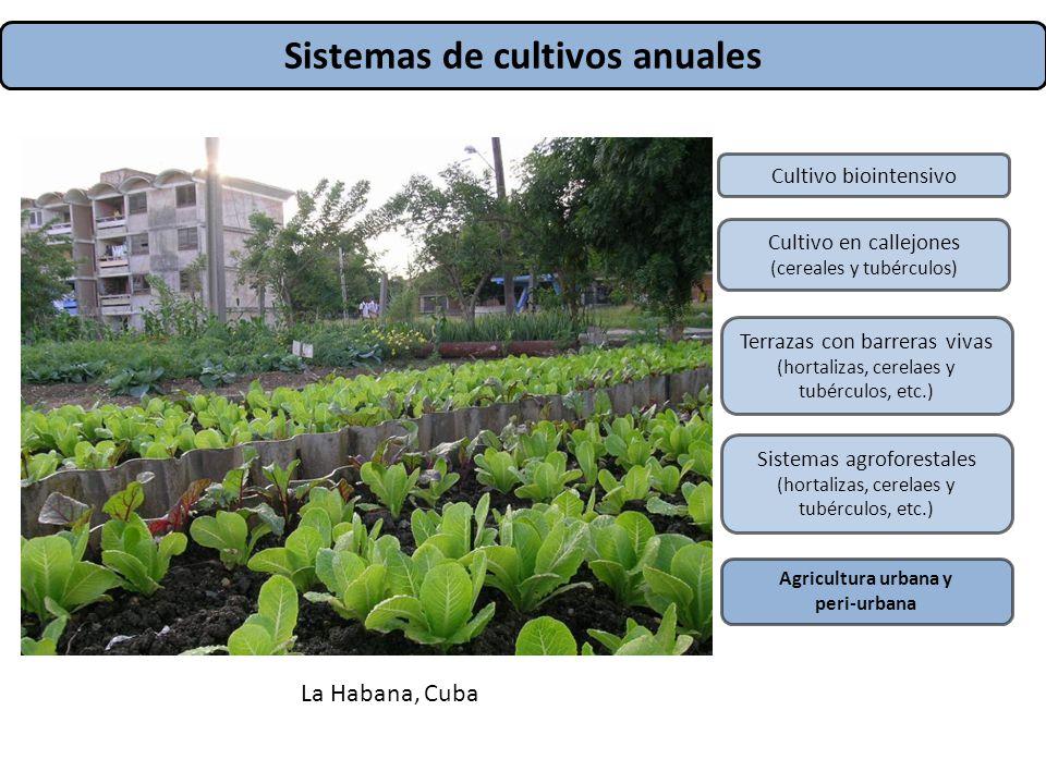 Sistemas de cultivos anuales Cultivo biointensivo Cultivo en callejones (cereales y tubérculos) Terrazas con barreras vivas (hortalizas, cerelaes y tu