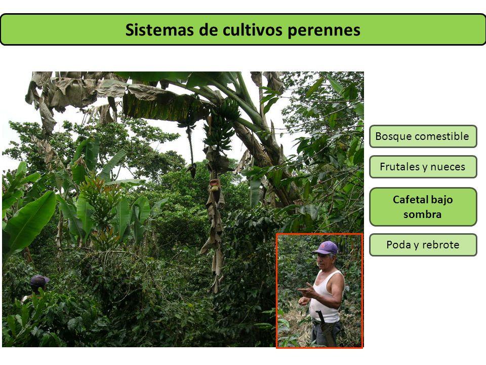 Sistemas de cultivos perennes Bosque comestible Frutales y nueces Cafetal bajo sombra Poda y rebrote