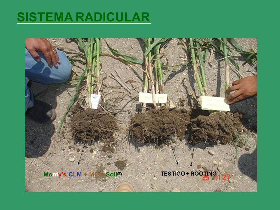 SISTEMA RADICULAR VOLUMEN IMPORTANTE DE RAICES ADVENTICIAS