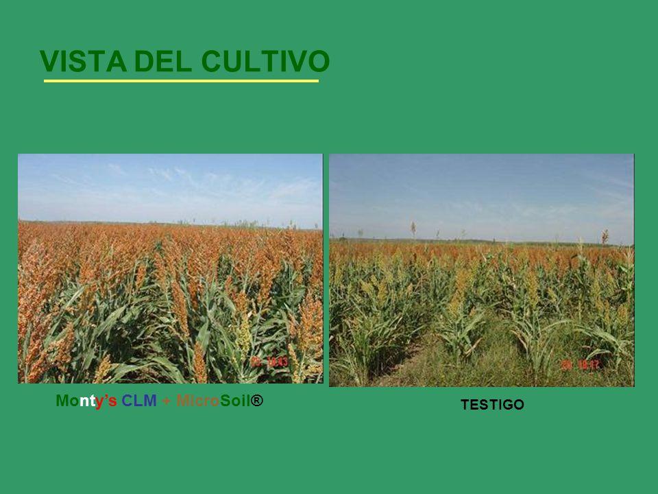 VISTA DEL CULTIVO TESTIGO Montys CLM + MicroSoil®