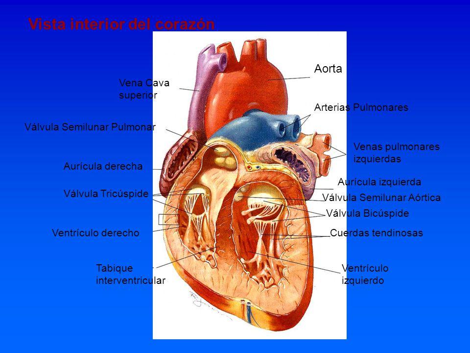 Vista interior del corazón Aorta Vena Cava superior Válvula Semilunar Pulmonar Arterias Pulmonares Venas pulmonares izquierdas Aurícula derecha Válvul