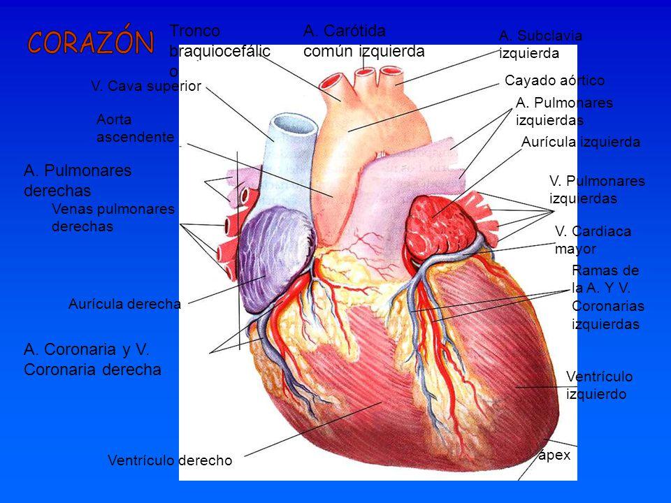 A. Carótida común izquierda A. Subclavia izquierda Tronco braquiocefálic o V. Cava superior Aorta ascendente Cayado aórtico A. Pulmonares izquierdas A