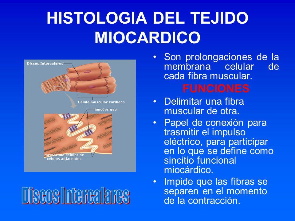HISTOLOGIA DEL TEJIDO MIOCARDICO Son prolongaciones de la membrana celular de cada fibra muscular. FUNCIONES Delimitar una fibra muscular de otra. Pap