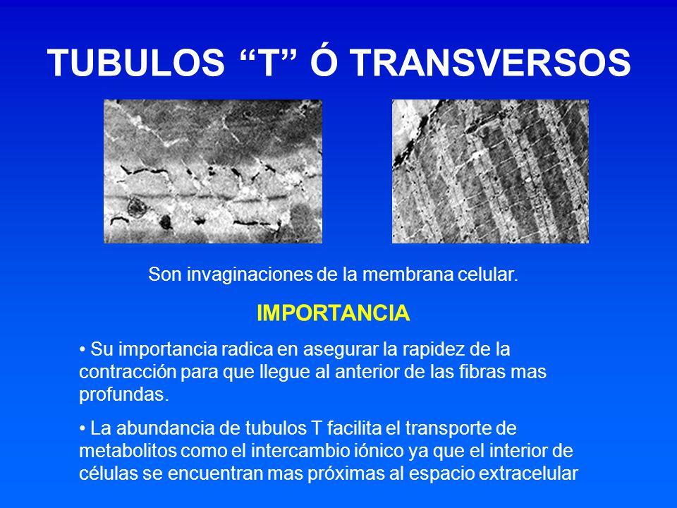 Son invaginaciones de la membrana celular. IMPORTANCIA Su importancia radica en asegurar la rapidez de la contracción para que llegue al anterior de l