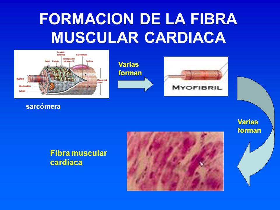 FORMACION DE LA FIBRA MUSCULAR CARDIACA Varias forman sarcómera Varias forman Fibra muscular cardiaca