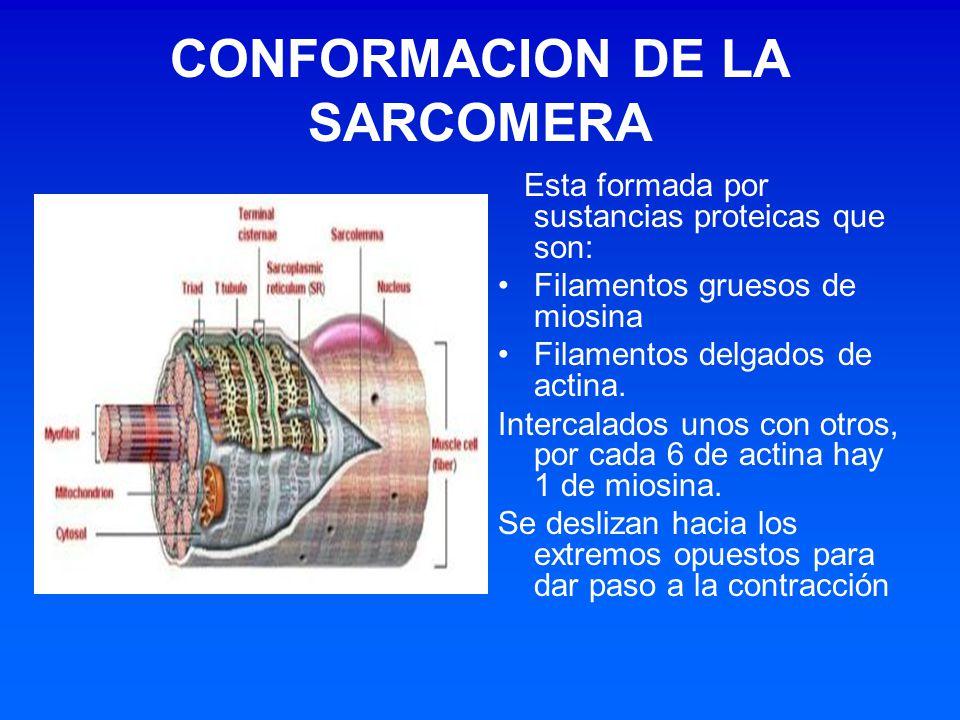 CONFORMACION DE LA SARCOMERA Esta formada por sustancias proteicas que son: Filamentos gruesos de miosina Filamentos delgados de actina. Intercalados