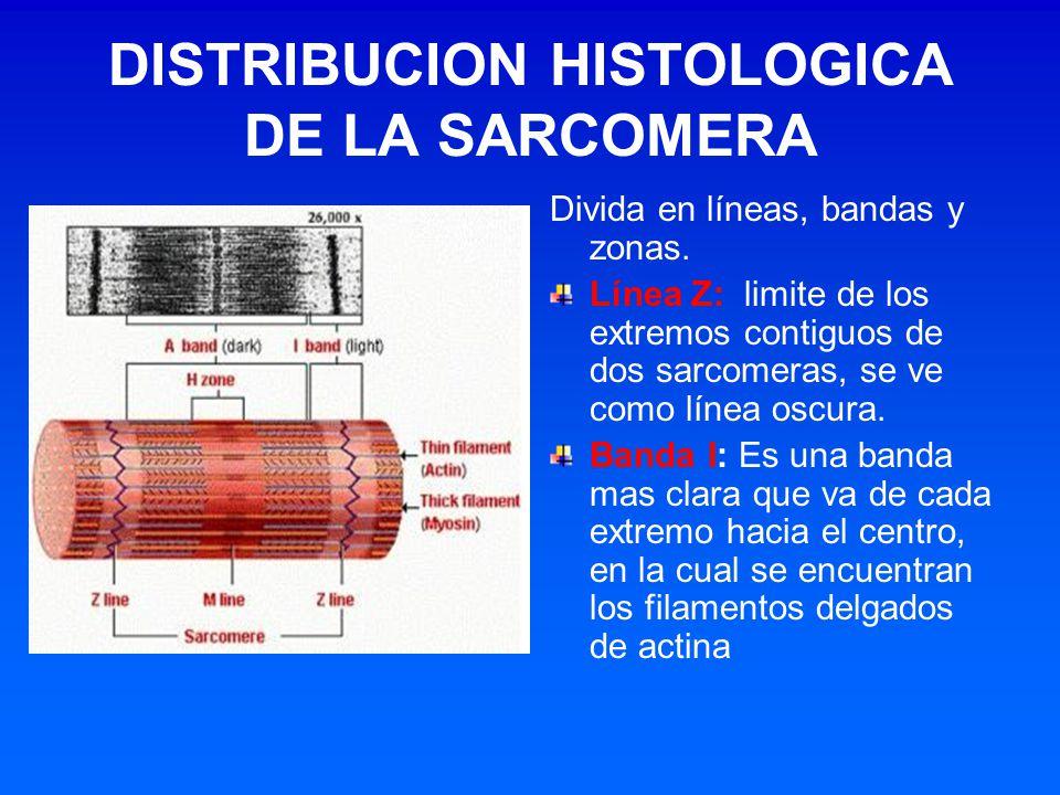 DISTRIBUCION HISTOLOGICA DE LA SARCOMERA Divida en líneas, bandas y zonas. Línea Z: limite de los extremos contiguos de dos sarcomeras, se ve como lín