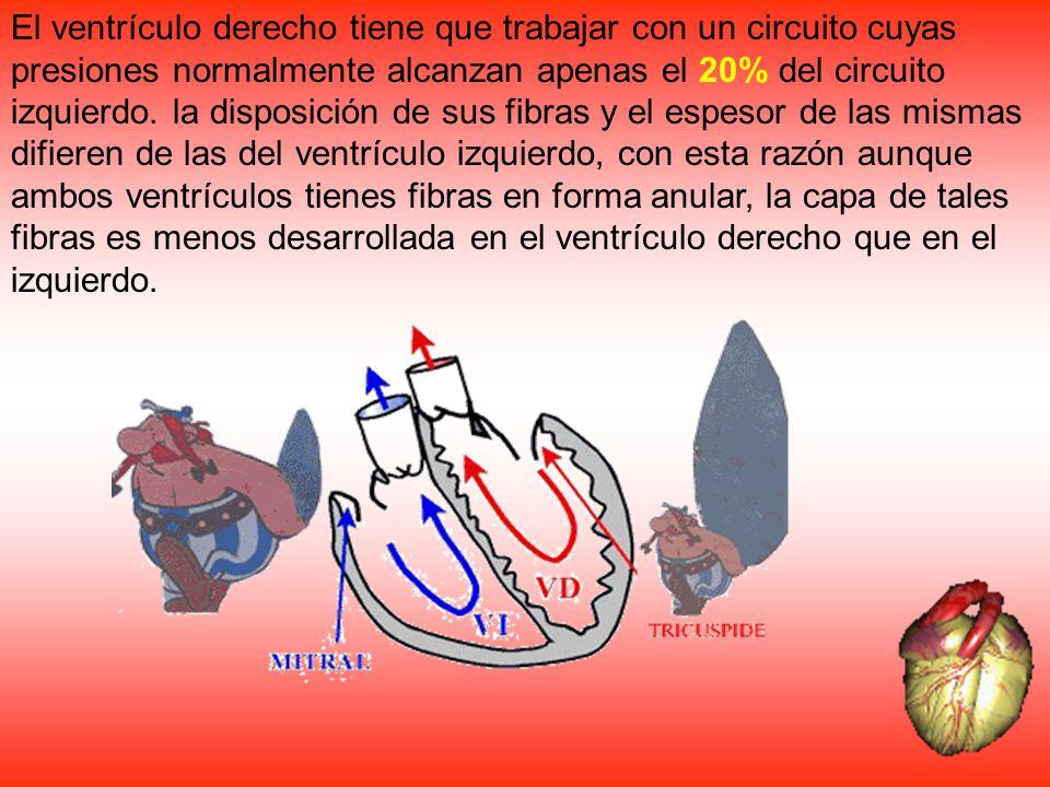 El ventrículo derecho tiene que trabajar con un circuito cuyas presiones normalmente alcanzan apenas el 20% del circuito izquierdo. la disposición de