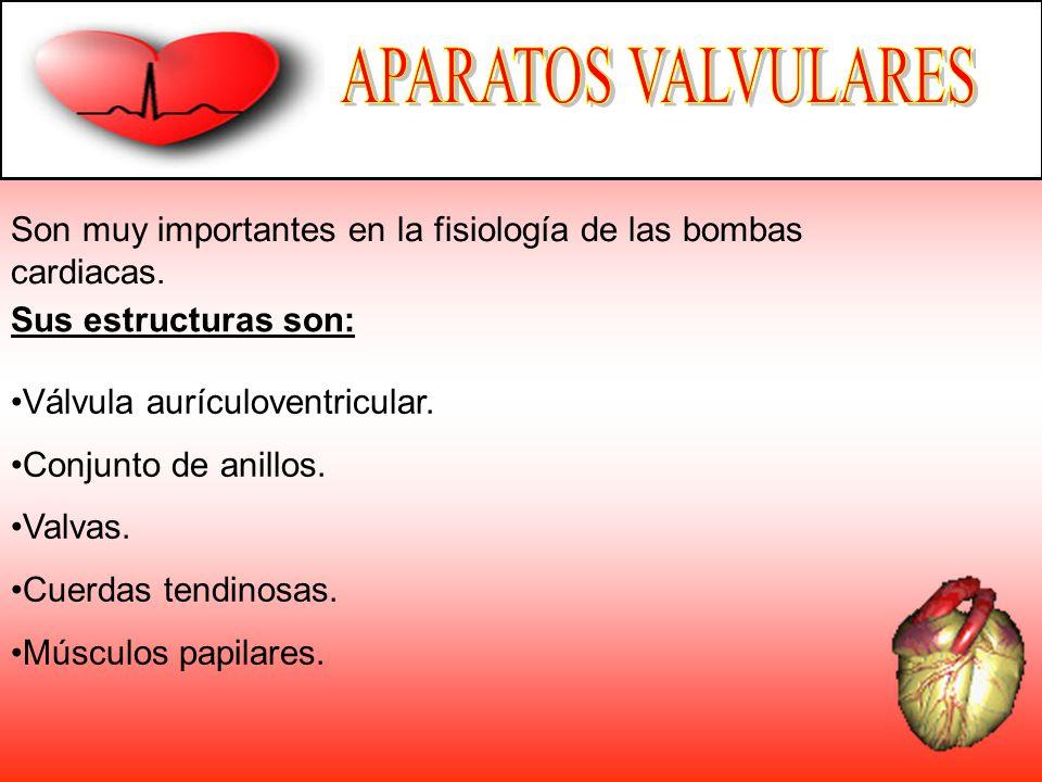Son muy importantes en la fisiología de las bombas cardiacas. Sus estructuras son: Válvula aurículoventricular. Conjunto de anillos. Valvas. Cuerdas t
