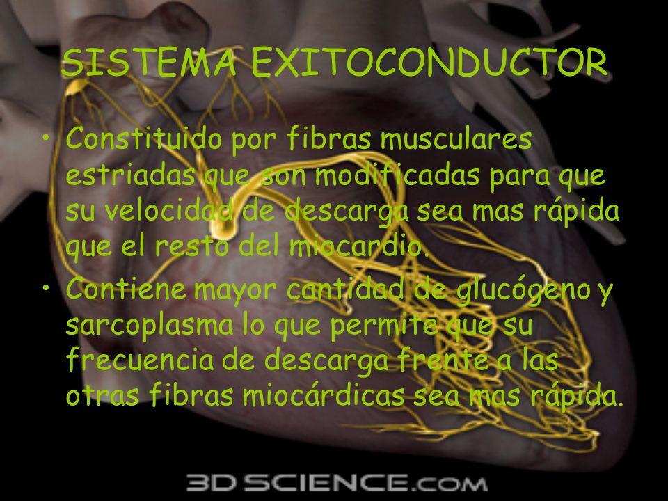 SISTEMA EXITOCONDUCTOR Constituido por fibras musculares estriadas que son modificadas para que su velocidad de descarga sea mas rápida que el resto d