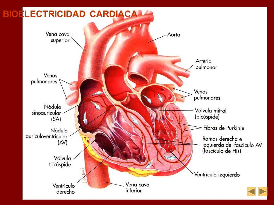 BIOELECTRICIDAD CARDIACA SISTEMA DE CONDUCCIÓ N