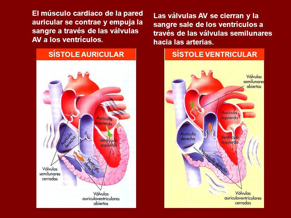 El músculo cardiaco de la pared auricular se contrae y empuja la sangre a través de las válvulas AV a los ventrículos. Las válvulas AV se cierran y la