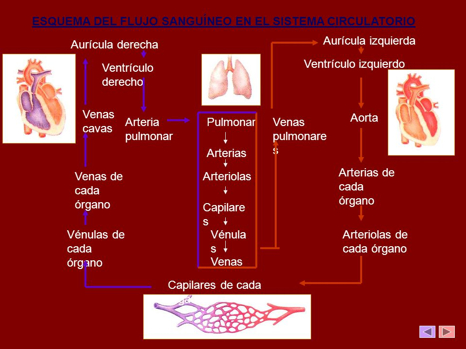 ESQUEMA DEL FLUJO SANGUÍNEO EN EL SISTEMA CIRCULATORIO Pulmonar Arterias Arteriolas Capilare s Vénula s Venas Aurícula derecha Aurícula izquierda Vent