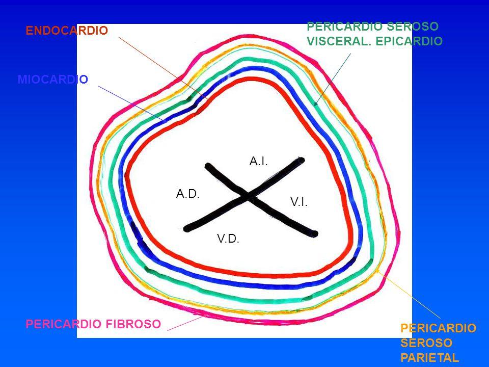 A.D. V.I. V.D. A.I. ENDOCARDIO MIOCARDIO PERICARDIO SEROSO VISCERAL. EPICARDIO PERICARDIO SEROSO PARIETAL PERICARDIO FIBROSO