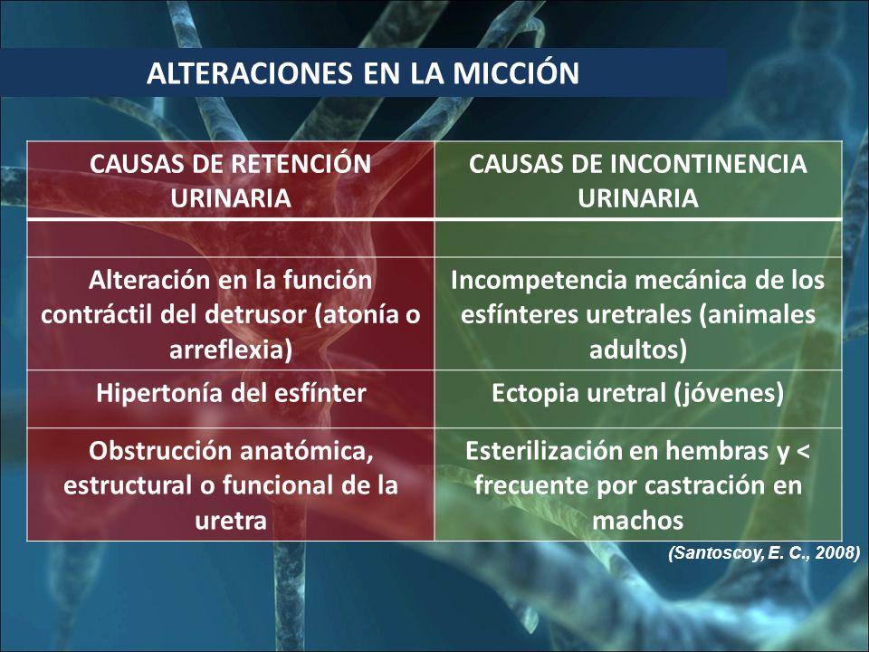 ALTERACIONES EN LA MICCIÓN CAUSAS DE RETENCIÓN URINARIA CAUSAS DE INCONTINENCIA URINARIA Alteración en la función contráctil del detrusor (atonía o arreflexia) Incompetencia mecánica de los esfínteres uretrales (animales adultos) Hipertonía del esfínterEctopia uretral (jóvenes) Obstrucción anatómica, estructural o funcional de la uretra Esterilización en hembras y < frecuente por castración en machos (Santoscoy, E.