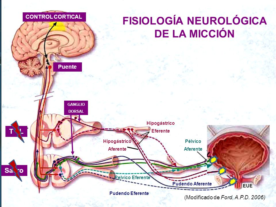 FISIOLOGÍA NEUROLÓGICA DE LA MICCIÓN CONTROL CORTICAL Puente Sacro T - L GANGLIO DORSAL - adre Hipogástrico Eferente Hipogástrico Aferente Pelvico Eferente Pélvico Aferente Pudendo Aferente Pudendo Eferente EUE (Modificado de Ford, A.P.D.