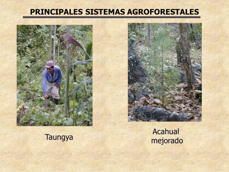 PRINCIPALES SISTEMAS AGROFORESTALES Acahual mejorado Taungya
