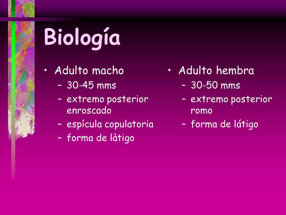 Biología Adulto macho –30-45 mms –extremo posterior enroscado –espícula copulatoria –forma de làtigo Adulto hembra –30-50 mms –extremo posterior romo
