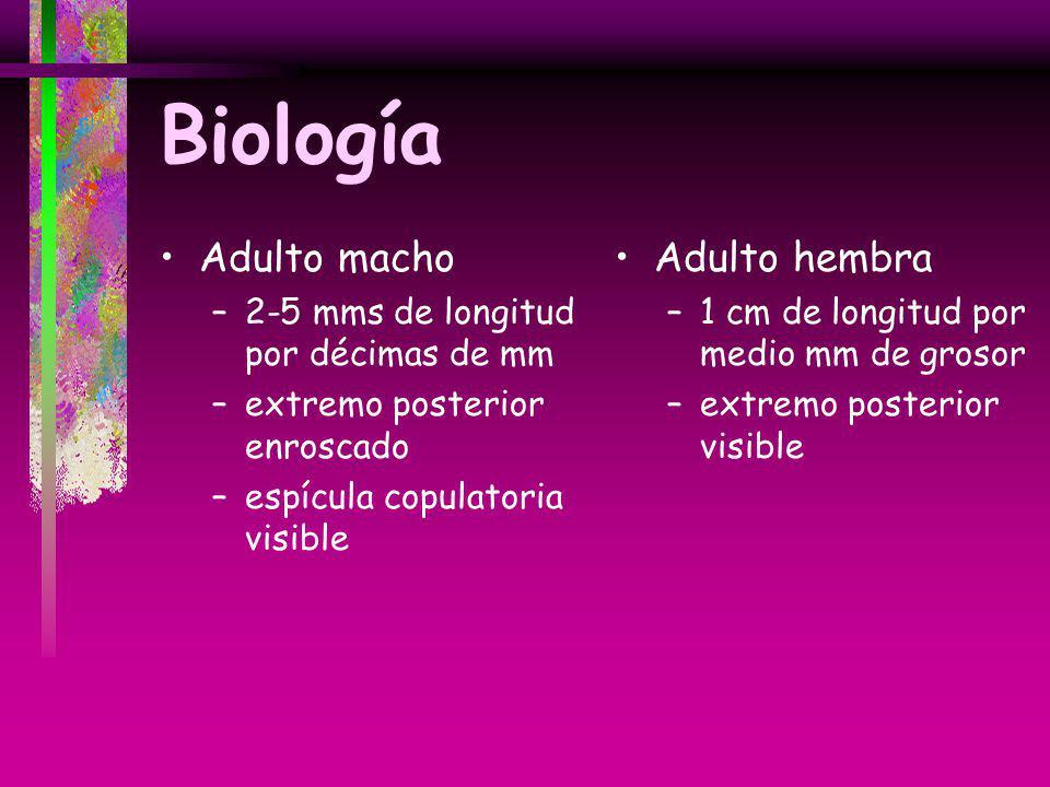 Biología Adulto macho –2-5 mms de longitud por décimas de mm –extremo posterior enroscado –espícula copulatoria visible Adulto hembra –1 cm de longitu