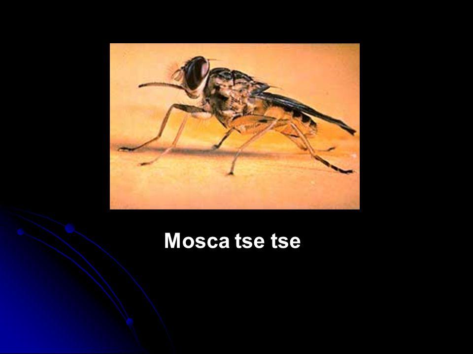 Mosca tse tse