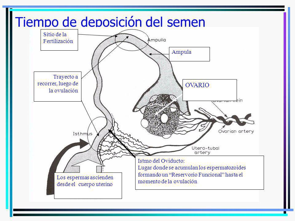 Tiempo de deposición del semen Sitio de la Fertilización Los espermas ascienden desde el cuerpo uterino Istmo del Oviducto: Lugar donde se acumulan lo