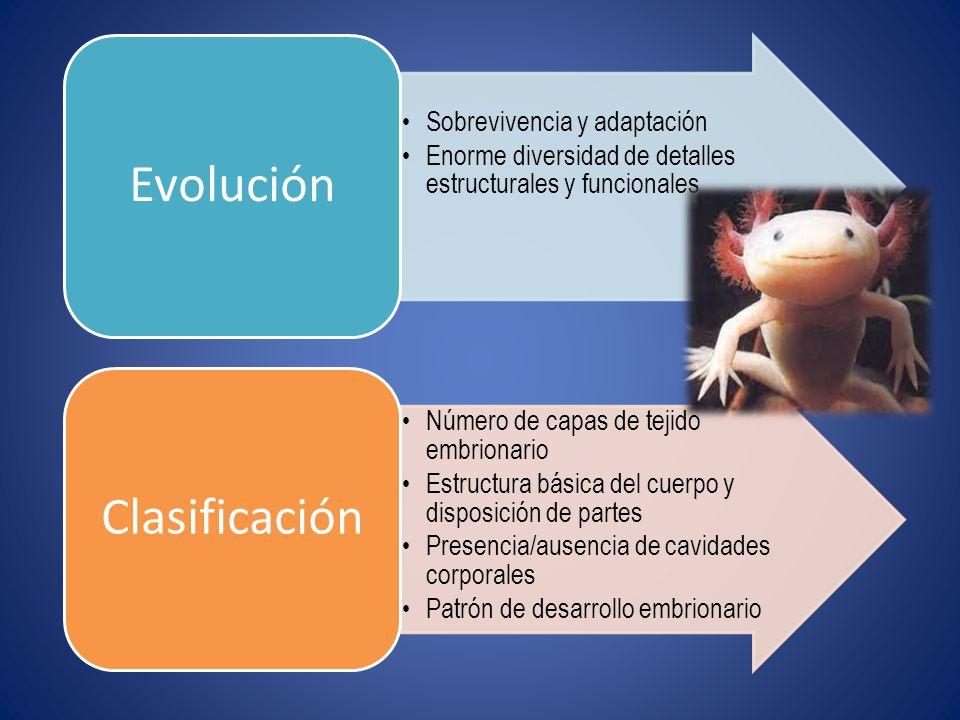 Sobrevivencia y adaptación Enorme diversidad de detalles estructurales y funcionales Evolución Número de capas de tejido embrionario Estructura básica