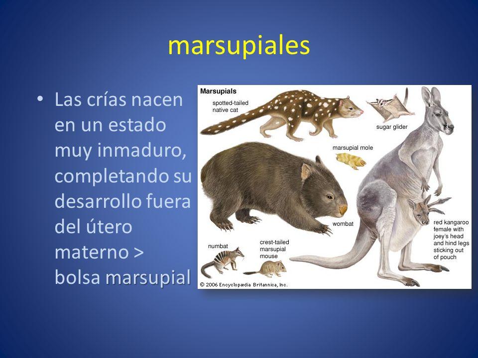marsupiales marsupial Las crías nacen en un estado muy inmaduro, completando su desarrollo fuera del útero materno > bolsa marsupial