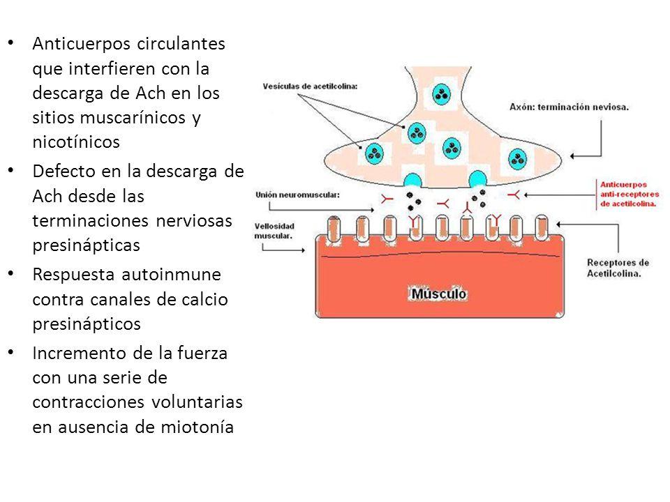 Anticuerpos circulantes que interfieren con la descarga de Ach en los sitios muscarínicos y nicotínicos Defecto en la descarga de Ach desde las termin