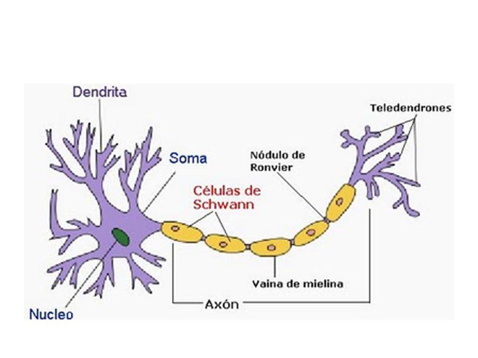 SÍNDROME DE GUILLAIN BARRÉ Autoinmune – La desmielinización se produce por un doble mecanismo, mediada por linfocitos y por anticuerpos circulantes Se caracteriza por la presencia de inflamación, desmielinización y degeneración axonal, restringida al SNP – Desmielinización segmentaria y multifocal – Puede haber degeneración axonal secundaria al proceso de desmielinización en las zonas mas intensas de inflamación