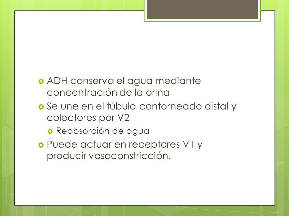ADH conserva el agua mediante concentración de la orina Se une en el túbulo contorneado distal y colectores por V2 Reabsorción de agua Puede actuar en