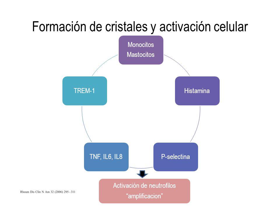 Formación de cristales y activación celular Monocitos Mastocitos HistaminaP-selectinaTNF, IL6, IL8TREM-1 Activación de neutrofilos amplificacion
