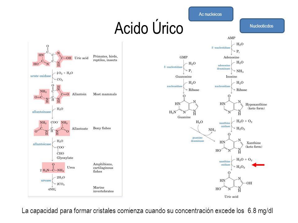 Acido Úrico La capacidad para formar cristales comienza cuando su concentración excede los 6.8 mg/dl Ac nucleicos Nucleoticdos