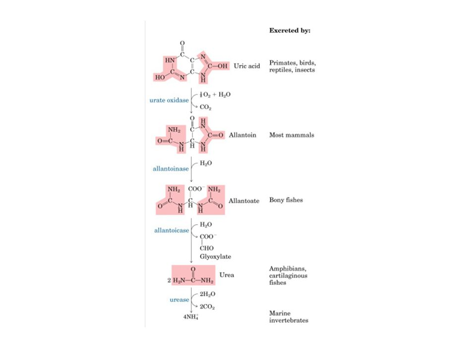 Causas de hiperuricemia y gota Hiperuricemia primaria Hiperproducción de ácido úrico Idiopática Deficiencia de fosfofructoaldolasa Déficit de la hipoxantina-guanina-fosforribosil transferasa parcial (Síndrome de Seegmiler-Kelley) o completo (Lesch-Nyhan) Hiperactividad de la fosforribosil-pirofosfato sintetasa Glucogenosis (I, III, V, VII) Hipoexcreción de ácido úrico Idiopática (defecto selectivo de la secreción tubular de ácido úrico) Hiperuricemia secundaria Hiperproducción de ácido úrico Origen exógeno (Nutricional) Ingestión excesiva de etanol Ingestión excesiva de fructosa Dieta rica en purinas Dieta hipercalórica Asociado a enfermedades que cursan con aumento del recambio celular Psoriasis Enfermedades linfo/mieoloproliferativas crónicas Anemias hemolíticas crónicas Mononucleosis infecciosa Hipoexcreción de ácido úrico Secundaria a fármacos Diuréticos (tiazidas, furosemide, etacrínico) Ciclosporina- A Salicilatos o fenilbutazona Laxantes de contacto Tuberculostáticos (pirazinamida, etambutol) Antiretrovirales (didasonida, ritonavir) Secundaria a enfermedad Renal Insuficiencia renal crónica (múltiples causas) Nefropatía familiar con hiperuricemia Insuficiencia renal aguda (múltiples causas) Hipertensión arterial Contracción crónica de volumen Intoxicación crónica por plomo Miscelánea Acidosis láctica/respiratoria Cetosis Gestosis Hipertiroidismo/hiperparatiroidismo