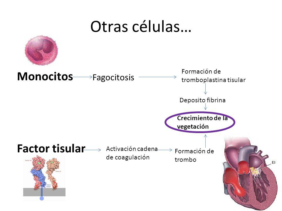 Otras células… Monocitos Fagocitosis Factor tisular Deposito fibrina Formación de tromboplastina tisular Crecimiento de la vegetación Activación caden