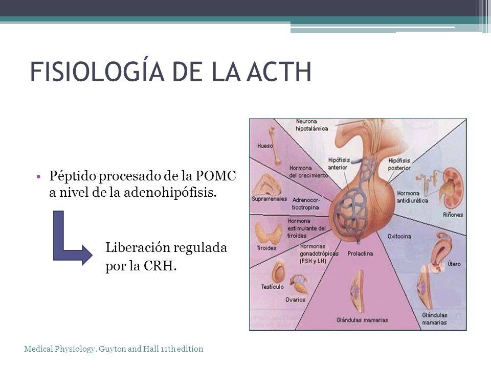 FISIOLOGÍA DE LA ACTH Péptido procesado de la POMC a nivel de la adenohipófisis. Liberación regulada por la CRH. Medical Physiology. Guyton and Hall 1