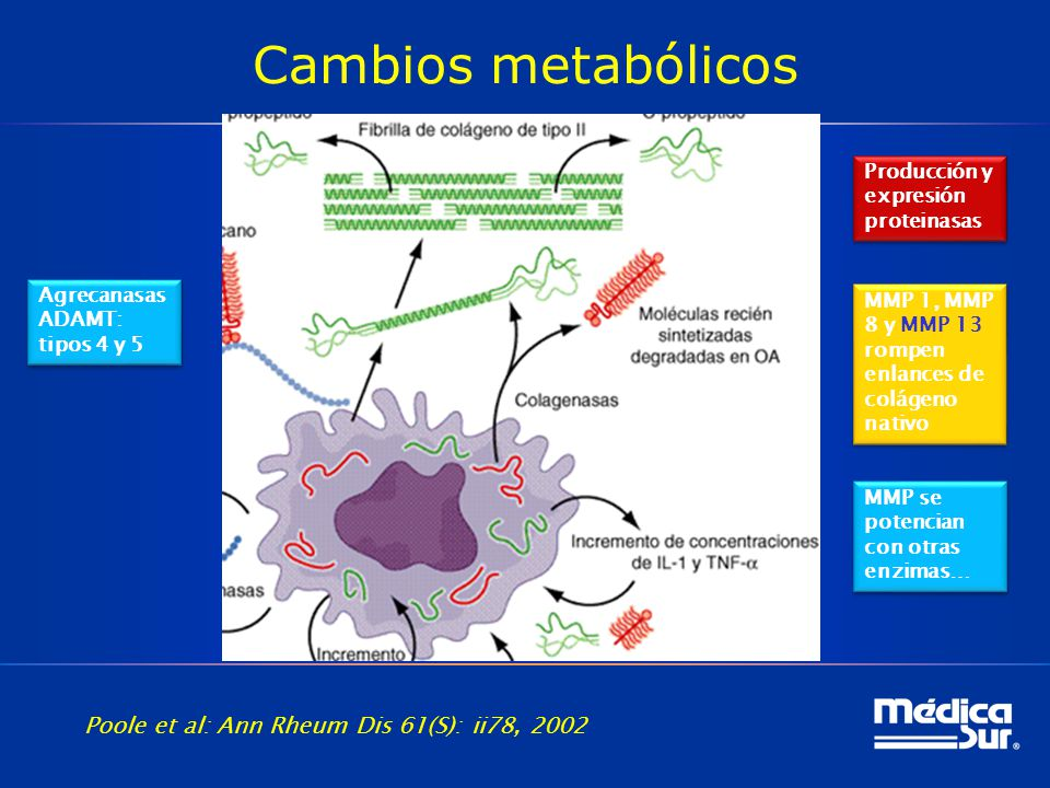 Cambios metabólicos Metaloproteinasas (MMP) 1º activadores ColagenasasColagénoAgrecanasasProteoglucanos Producción y expresión proteinasas MMP 1, MMP 8 y MMP 13 rompen enlances de colágeno nativo MMP se potencian con otras enzimas… Agrecanasas ADAMT: tipos 4 y 5 Agrecanasas ADAMT: tipos 4 y 5 Poole et al: Ann Rheum Dis 61(S): ii78, 2002