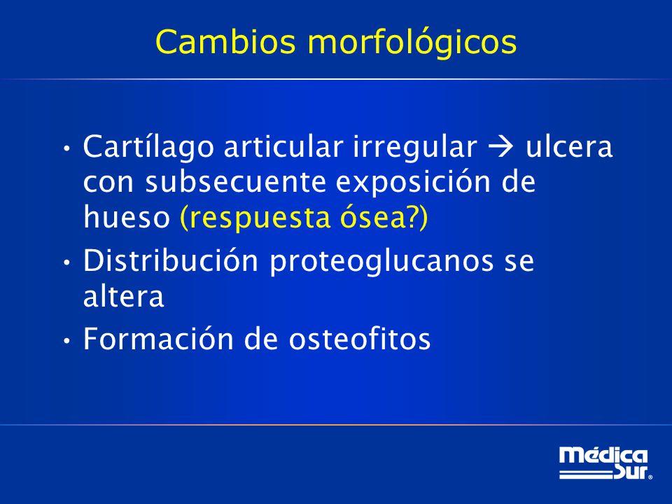 Cambios morfológicos Cartílago articular irregular ulcera con subsecuente exposición de hueso (respuesta ósea?) Distribución proteoglucanos se altera Formación de osteofitos
