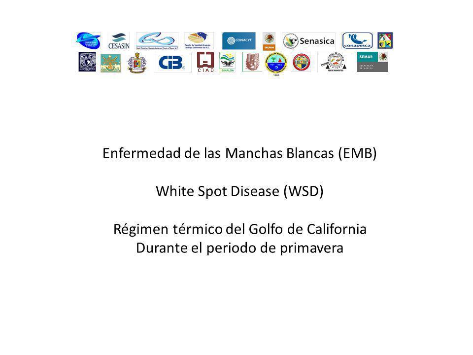 Enfermedad de las Manchas Blancas (EMB) White Spot Disease (WSD) Régimen térmico del Golfo de California Durante el periodo de verano
